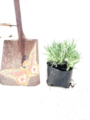 Lavendula Margaret Roberts 3 plants in bag 4L