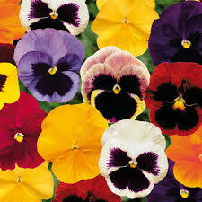 Pansy mixed colours 30 pack