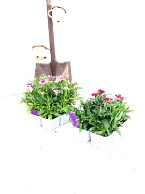 Dianthus Mixed Colours Seedlings 6 Pack