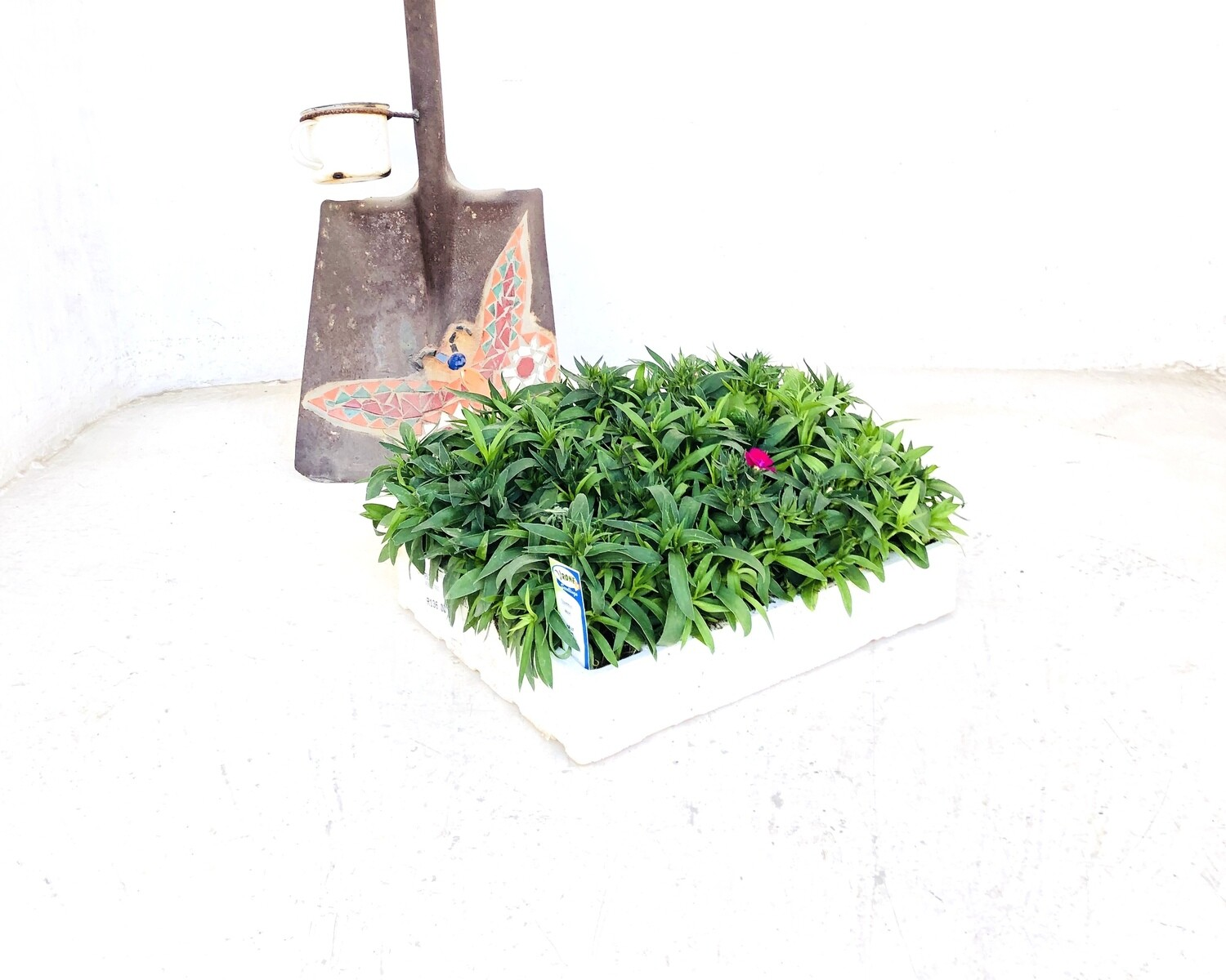 Dianthus Mixed Colours Seedlings 30 Pack