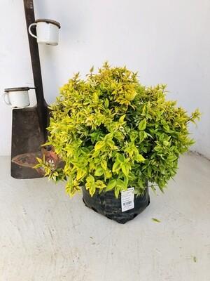 Abelia x grandiflora Kaleidoscope var. 10 liters 70cm x 90cm