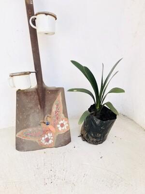 Clivia 4 liter landscaping