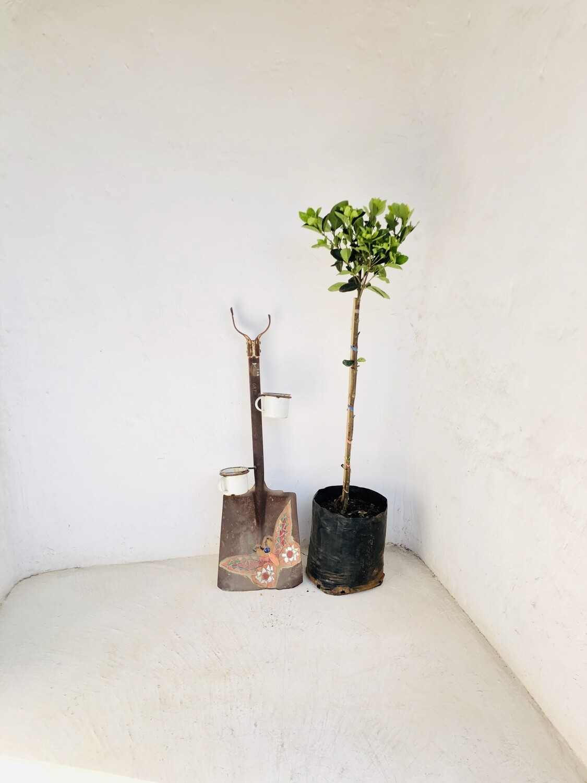 Gardenia Belmont 11L Standard H 1 meter