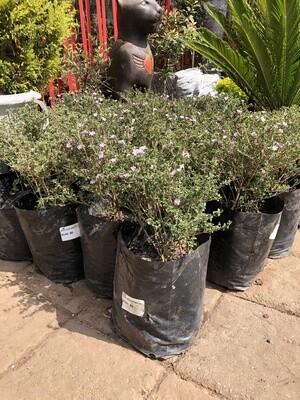 Serissa Foetida variegata 10 Liter
