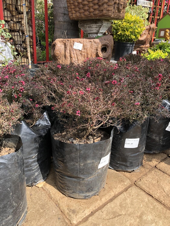 Leptospermum scop. Cherry Brandy 'Tea Tree'   10 Liter
