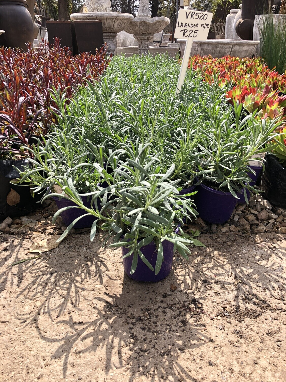 Lavendula Margaret Roberts 2 liter Landscaping