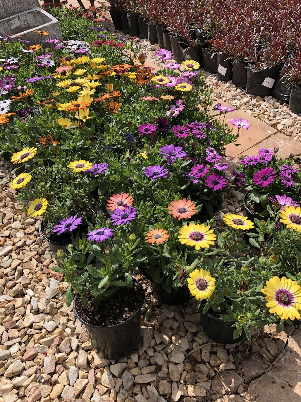 Osteospermum Mixed Colours 12cm NICE PLANTS