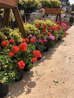 Geranium Pelargonium Zonale Mixed Colours 15cm Lovely Plants!