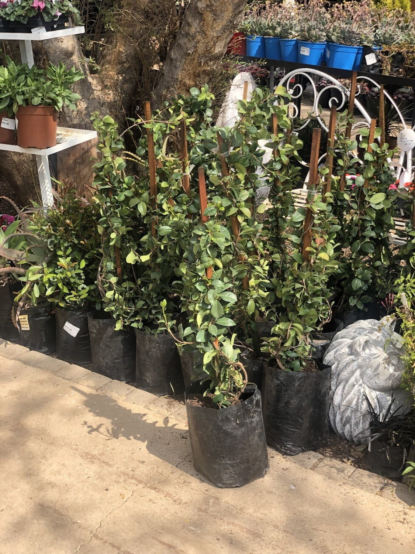 Star jasmine 10 liter bush nice plants