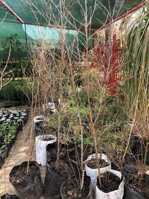 Betula pendula 'silver birch' 20 liters