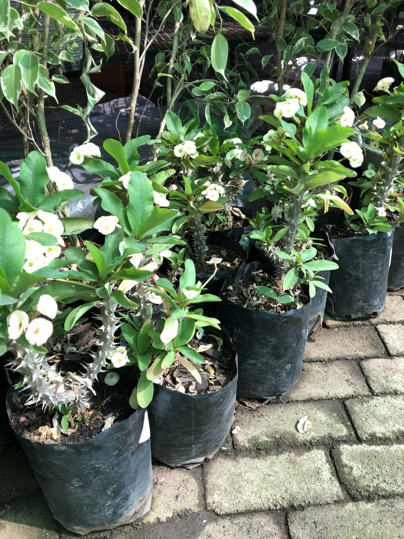 Euphorbia milli Large Cream 'Christ Plant' 5 Liter