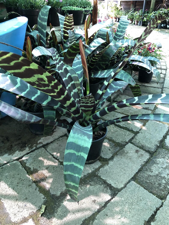 Vriesea Splenriet 15cm Pot