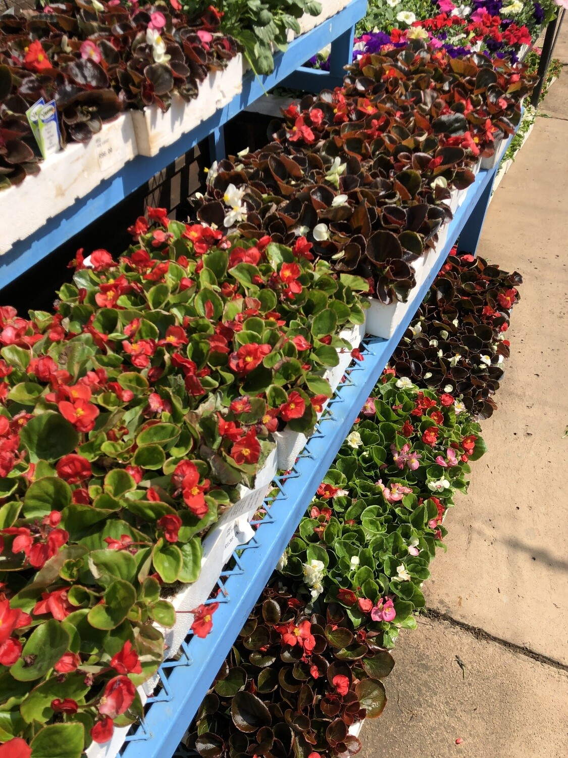Begonias Mixed Colours Seedlings 30 Pack