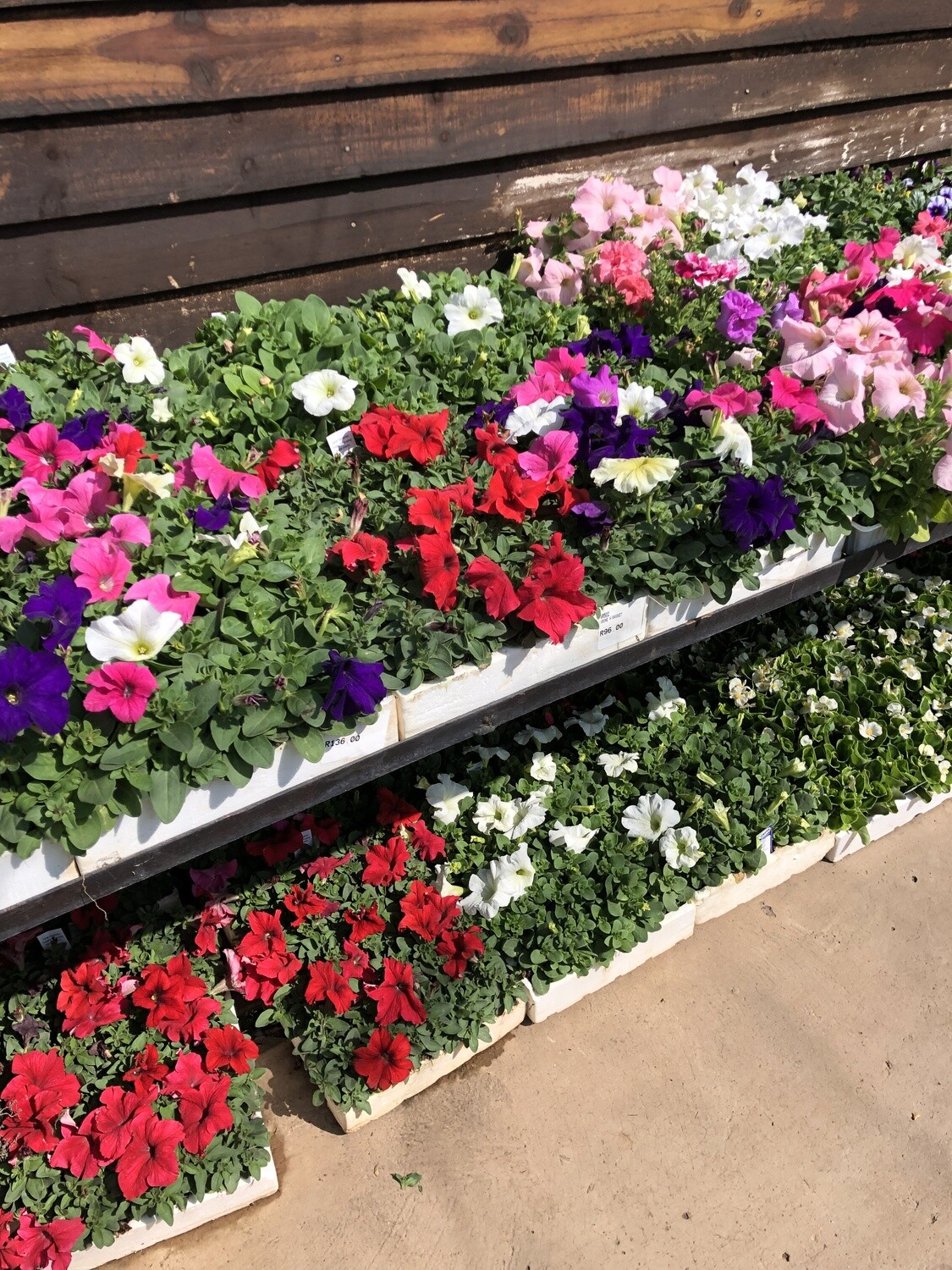 Petunia Mixed Colours Seedlings 30 pack