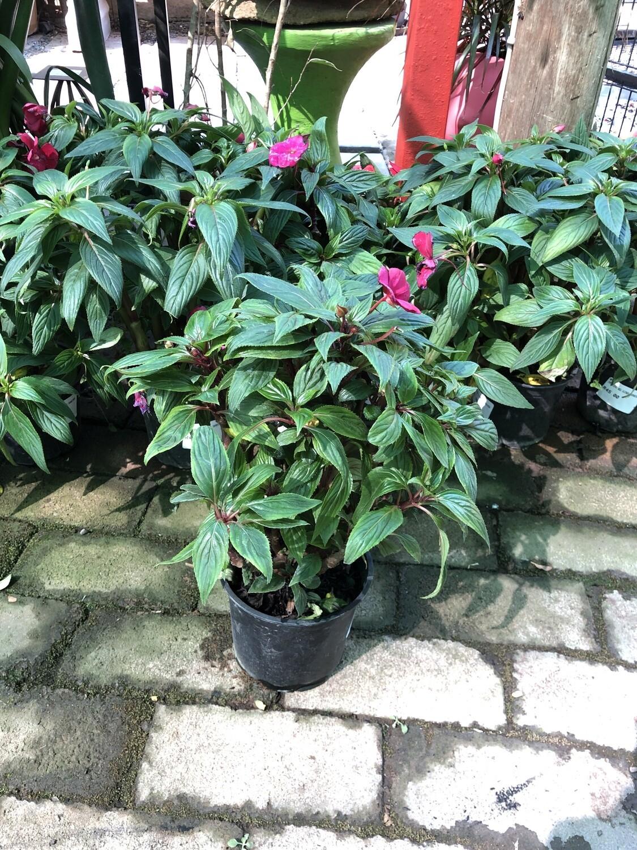 New Guinea Impatiens tamarinda 15cm pot