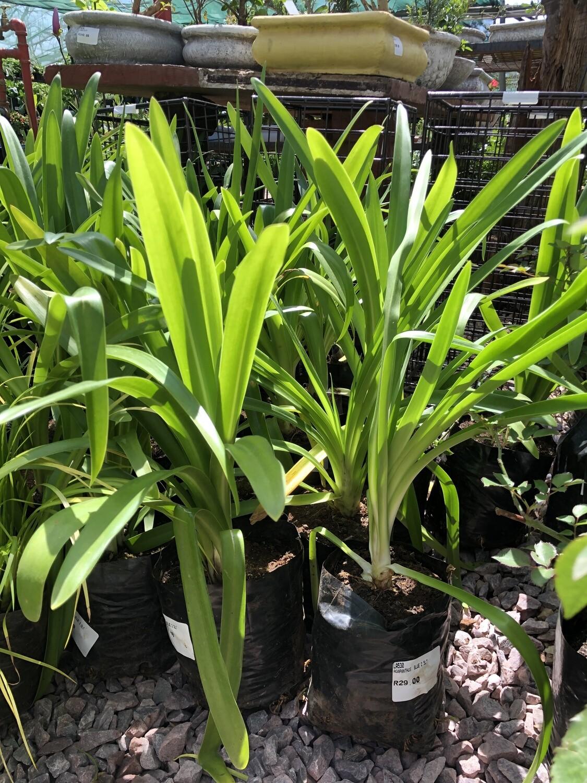 Agapanthus Large Blue 2 liter! Nice Plants!!!