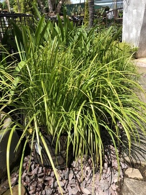 Acorus Large Gold 2.5 liter!!! Nice Plants!!!