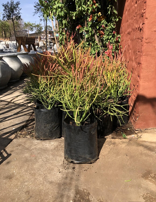 Euphorbia tirucalli 'Firesticks' 10 Liter