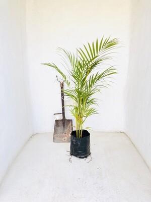 Bamboo Palm 10 liter