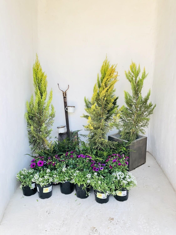Cupressus macrocarpa 'Goldcrest' 17cm Pot!!! Great special!!!!!