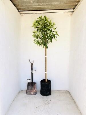 Viburnum Odoratissimum Standards Large 20 liter