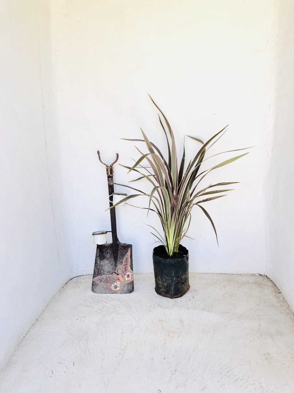 Phormium 'Pink Stripe' 10 liters. Nice Plants