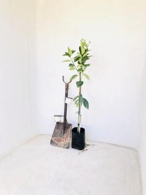 Citrus Valencia Orange Tree 6L