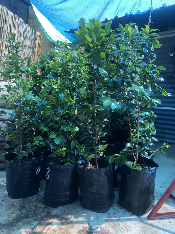 Camellia japonica Large 20 liter various colours