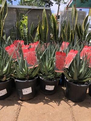 Aloe hybrid 'Peri-Peri' (PBR) 17cm