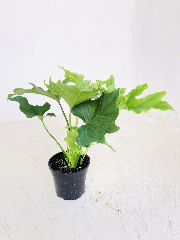 Philodendron Hope  14cm Pot