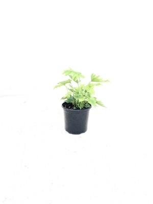 Philodendron 'Lime'  17cm Pot