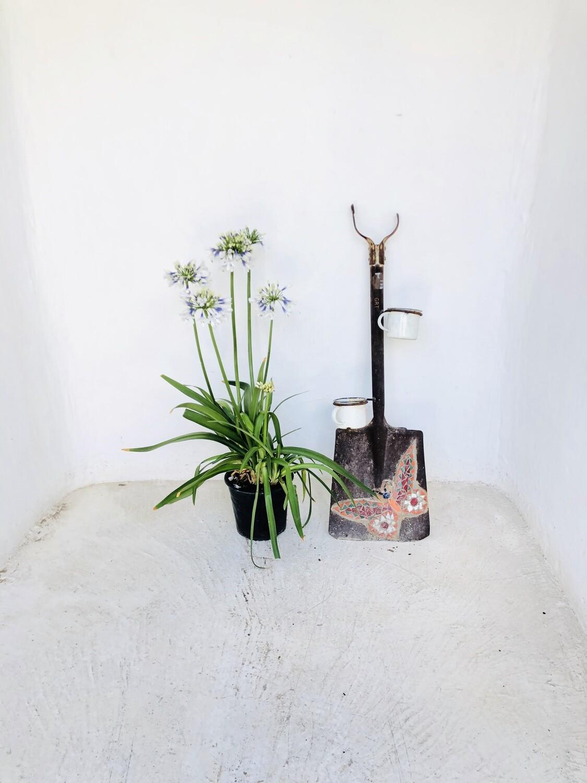 Agapanthus Twister Large Plants 19cm Pot