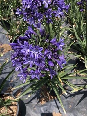 Agapanthus Buccaneer 17cm Pot Nice Plants!!!