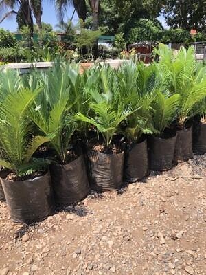 Cycas Revoluta 10 liter