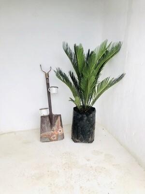 Cycas Revoluta 20 liter plants H1100mm
