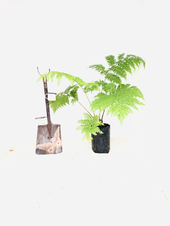 Cyathea Brownii Tree fern 10 Liter