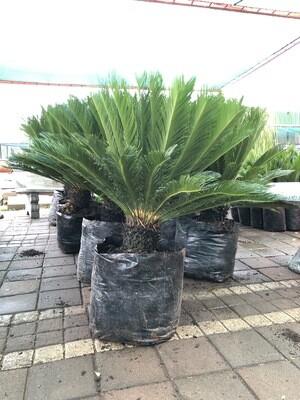 Cycas Revoluta 80 liter plants H1500mm