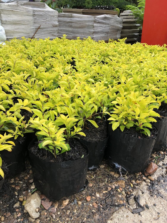 Duranta Gold 4L Landscaping