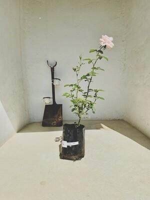 Bide's Dream Hybrid Tea Rose 5 liter