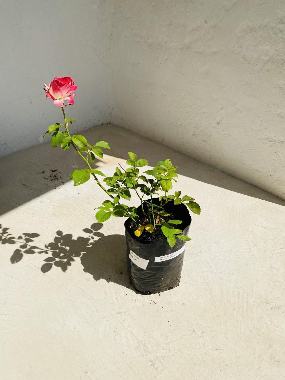 Double Delight Hybrid Tea Rose 5 liter
