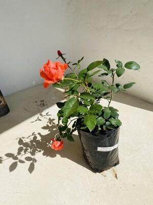 Garden Pavilion Hybrid Tea Rose 5 liter