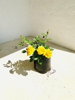 Rosa 'Germiston Gold' Hybrid Tea Rose 5 liter