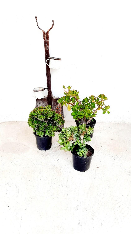 Crassula Mixed 15cm Pots