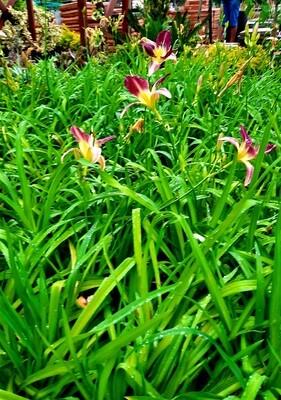 Hemerocallis Day Lillies 4L - Landscaping Mix, mainly orange and dark maroon