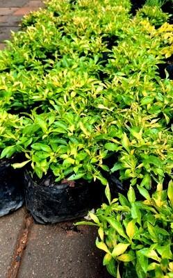 Alternanthera Yellow 10cm