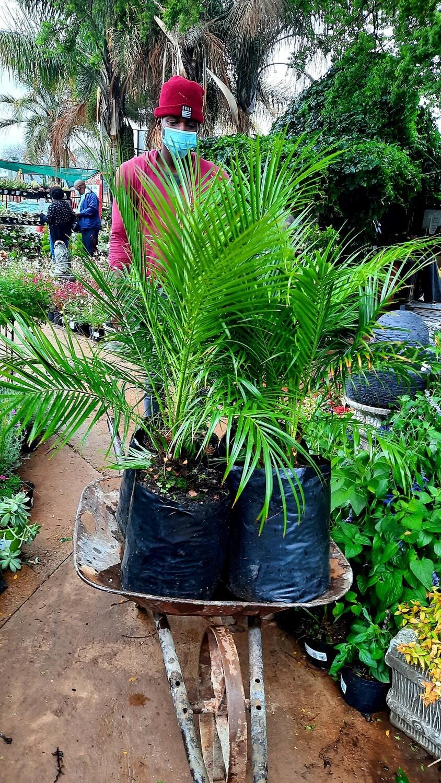 Phoenix Roebellini 20L Palm