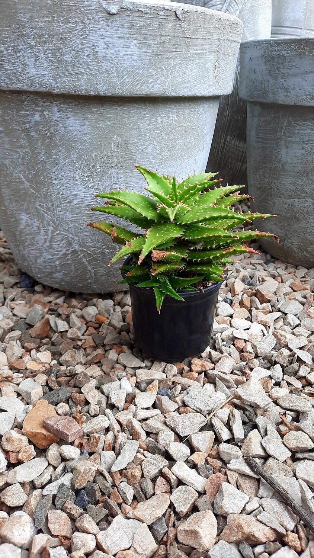 Aloe Rascal 10cm