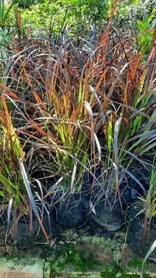 Pennisetum Purple Fountain Grass