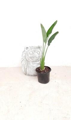 Strelitzia Reginae 17 cm