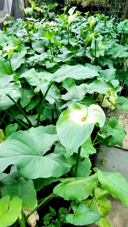 Zantedeschia 'Arum lilies' Green Goddess 10L